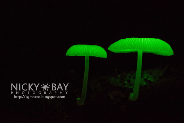 Bioluminescent Fungi (Mycena illuminans?) - DSC_7991