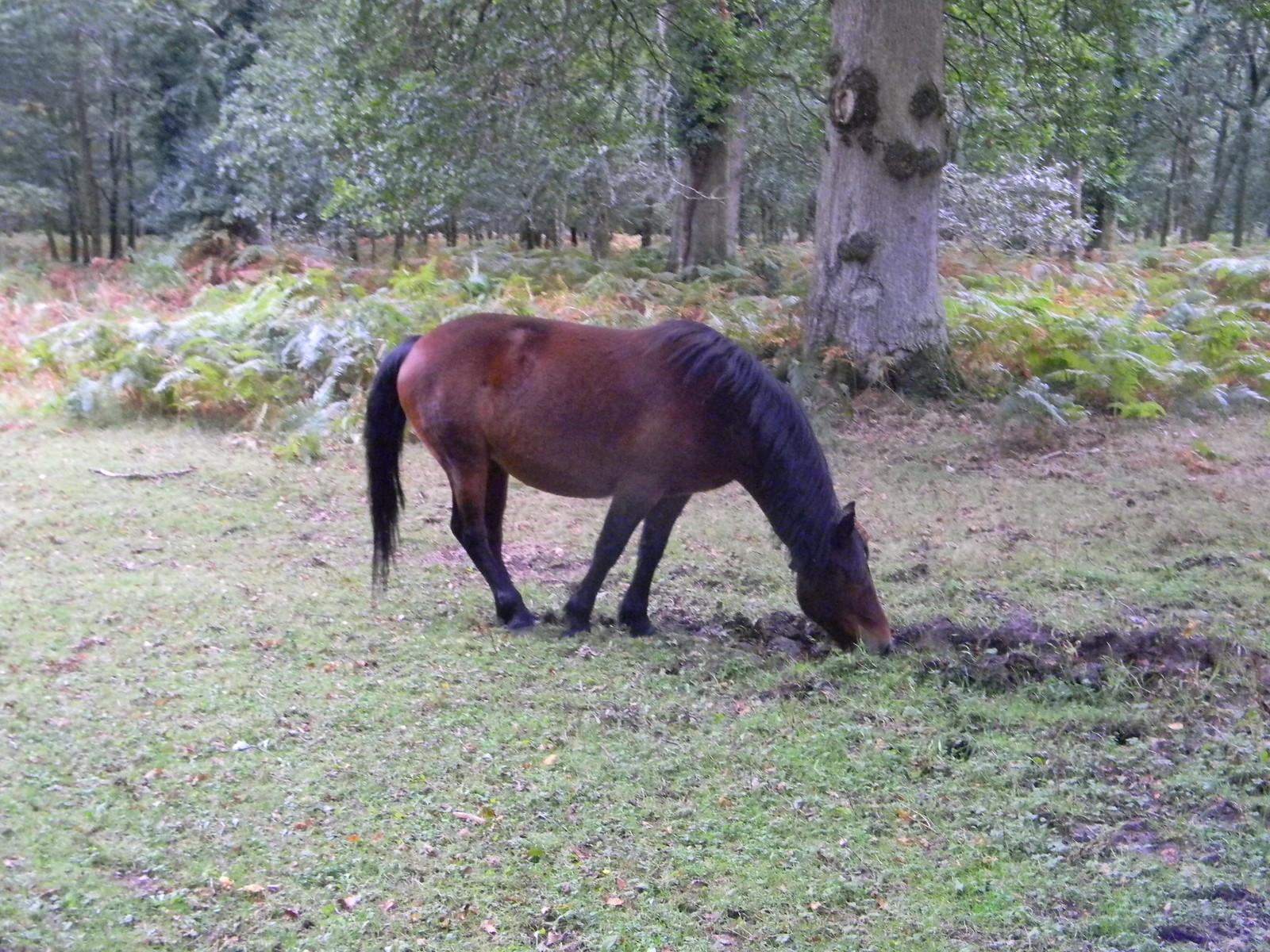 Pony Brockenhurst Circular