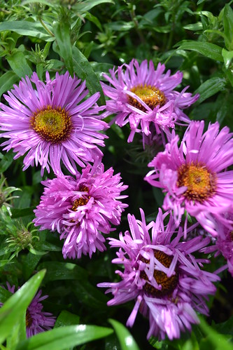 SYMPHYOTRICHUM novae-angliae 'Rougham Pink'