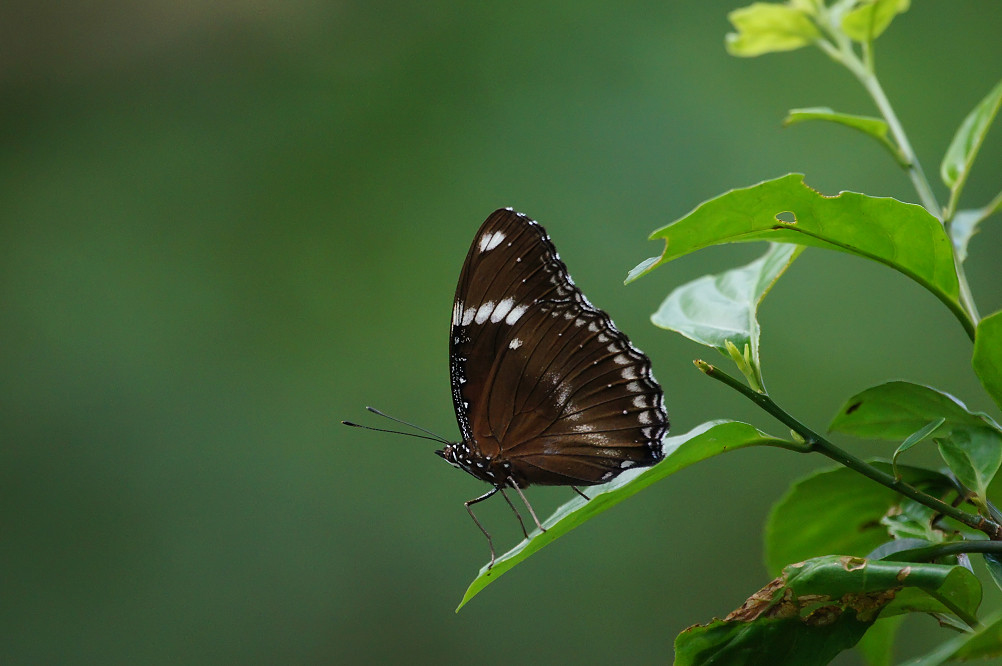 琉球紫蛺蝶-4