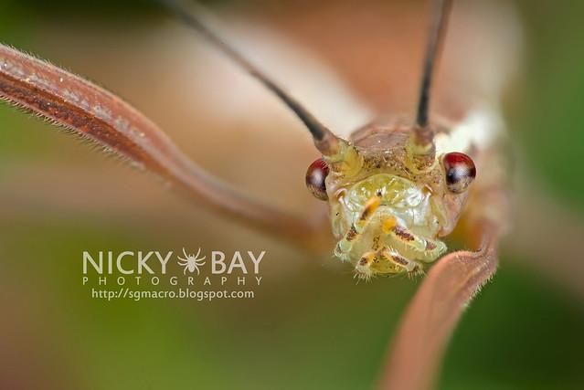Stick Insect (Phasmatodea) - DSC_6847