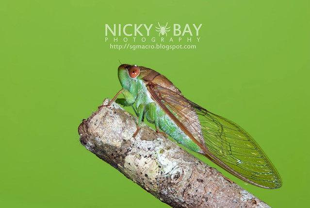 Cicada (Cicadidae) - DSC_6641