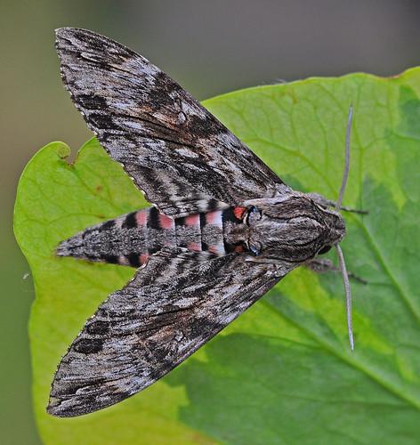 1972 Convolvulus Hawk-moth Agrius convolvuli by Kinzler Pegwell