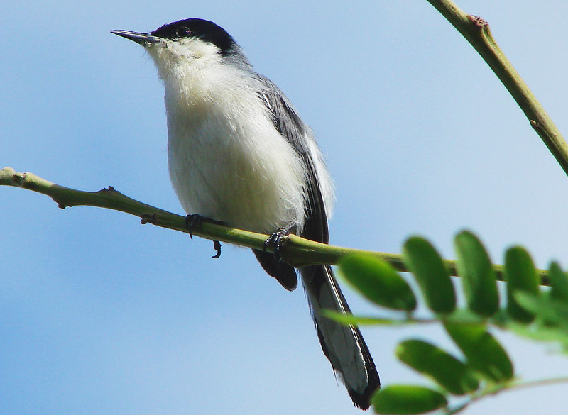 Imagen de una de las aves del Quindio: Curruca Tropical (Polioptila Plumbea)