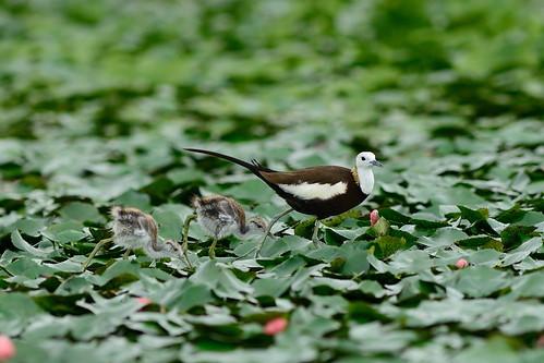 新科台南市鳥水雉。(攝影:林青峰;林務局提供)
