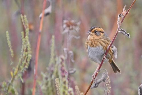 unitedstates kansas emberizidae clintonlake ammodramusnelsoninelsonssparrow