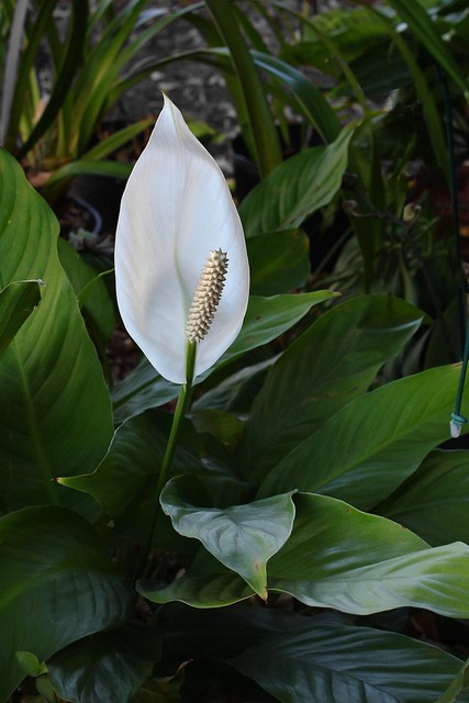Spathiphyllum wallisii | Flickr - Photo Sharing!