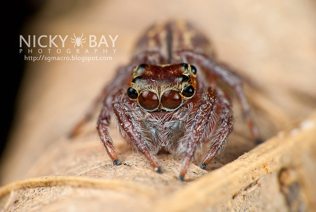Jumping Spider (Salticidae) - DSC_3064