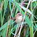 Small photo of Eurasian Reed-warbler (Acrocephalus scirpaceus)