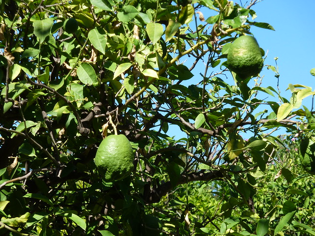 Weird Lemons Growing Inside a Patras Castle