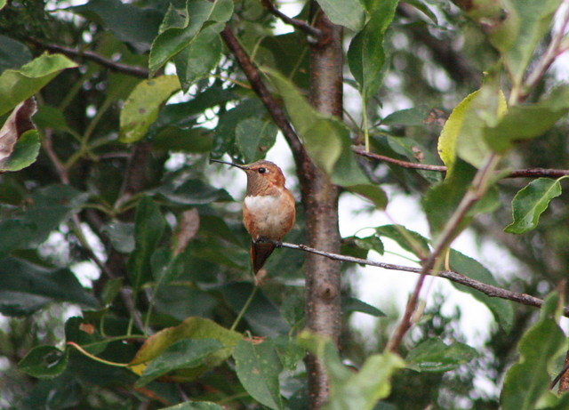 Rufous Hummingbird, Kent County, Delaware 10-9-2012