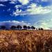 Getreide by MX-Photographie