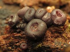 Tiny Cup Fungi