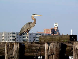 Great blue heron and Mr. Boh!
