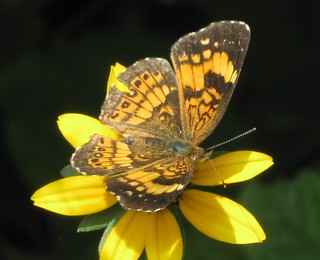 Butterfly Beautiful, yellow summer susans