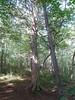 ベルツの森 守り主のサワラ