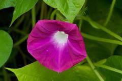 four o'clock flower(0.0), ipomoea alba(0.0), four o'clocks(0.0), annual plant(1.0), ipomoea violacea(1.0), flower(1.0), leaf(1.0), purple(1.0), plant(1.0), macro photography(1.0), wildflower(1.0), flora(1.0), plant stem(1.0), petal(1.0),