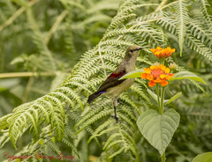 Crimson Backed Sunbird or Small Sunbird