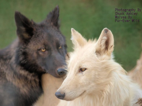 2012-09-07 Fur-Ever Wild Wolf Pups Black & White-W 344 by puckster55pics