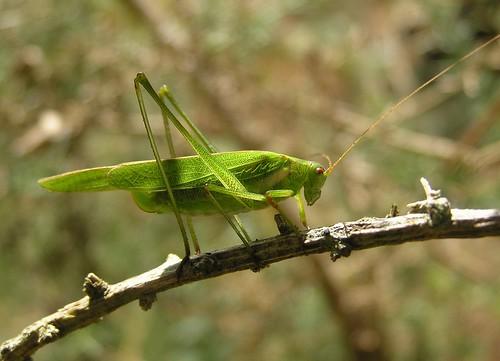 Phaneroptera falcata - Sickle-bearing Bush-cricket - Phanéroptère commun (♀) - 06/09/12