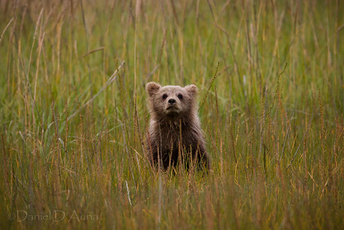 That's one tough looking bear!  Brown bear cub at Lake Clark National Park and Preserve in Alaska 0771