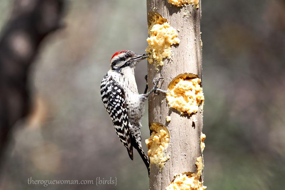 090112_05_bird_wood_ladderBackedWoodpecker02