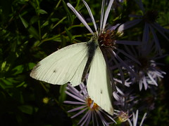Sept2012 206Small white butterfly - Pieris rapae