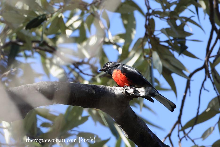 090312_09_bird_warble_paintedRedstart