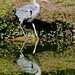 J77A6930 -- Grey Heron carfully entering the water