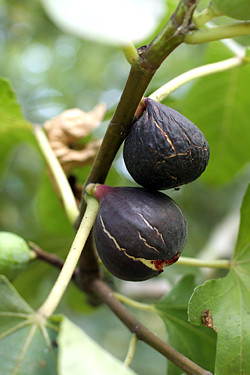 wrinkly figs