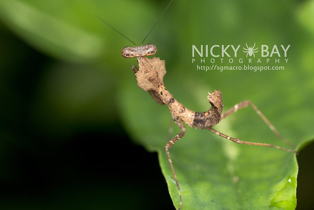 Deaf Leaf Mantis (Deroplatys sp.) - DSC_2720