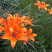 Orange Lily (John East)