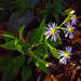 crookedstem aster - Photo (c) Fritz Flohr Reynolds, some rights reserved (CC BY-NC)