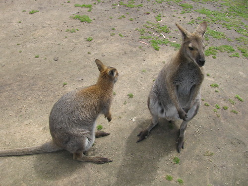 Wallabies at Halls Gap Zoo by holidaypointau