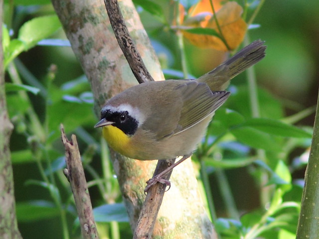Common Yellowthroat male 20120924