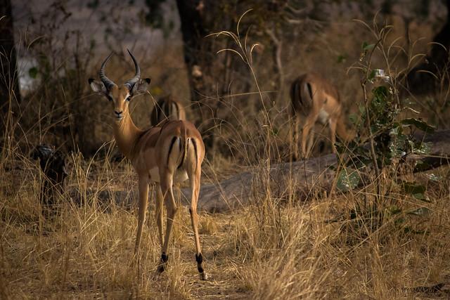 Alert Impala - South Luangwa, Zambia