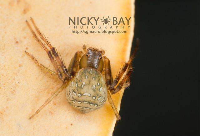 Crab Spider (Thomisidae) - DSC_5303