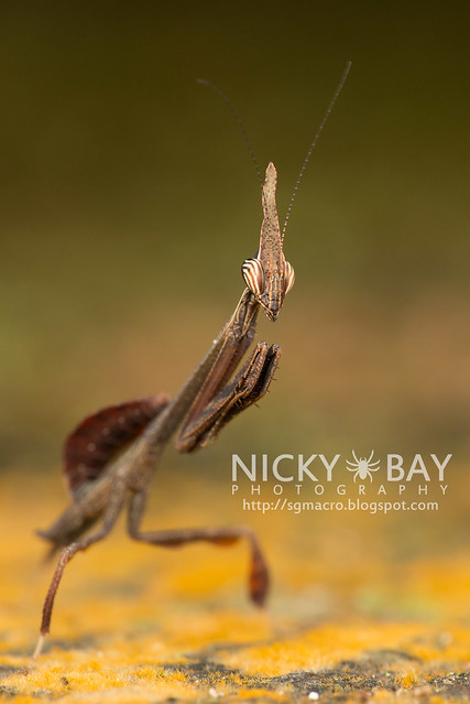 Bark Horned Mantis nymph (Ceratocrania macra) - DSC_6612