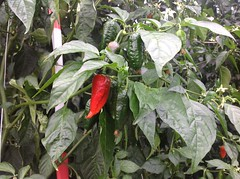 flower(0.0), datura inoxia(0.0), produce(0.0), fruit(0.0), food(0.0), cayenne pepper(1.0), chili pepper(1.0), vegetable(1.0), peppers(1.0), plant(1.0), bell peppers and chili peppers(1.0), bird's eye chili(1.0),