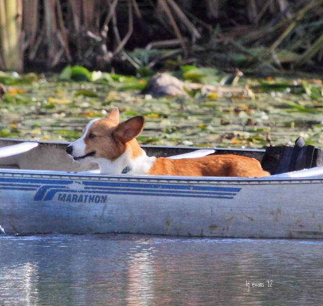 66667_Canoe Corgi
