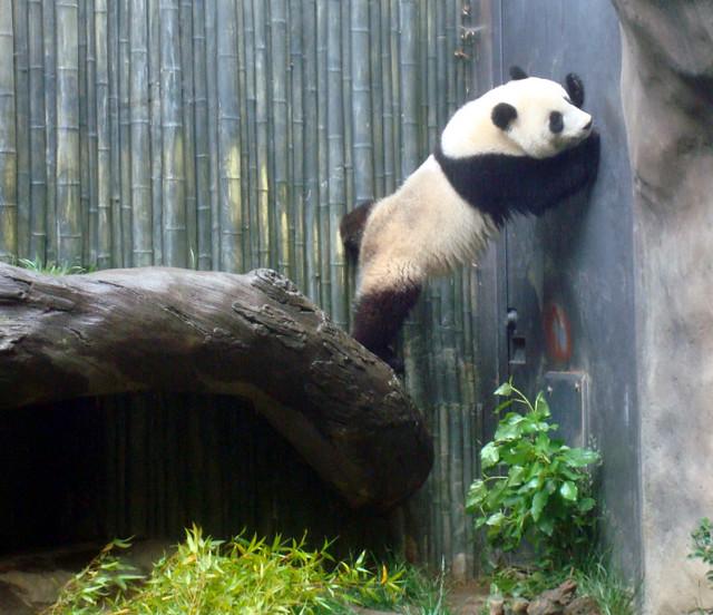 panda small