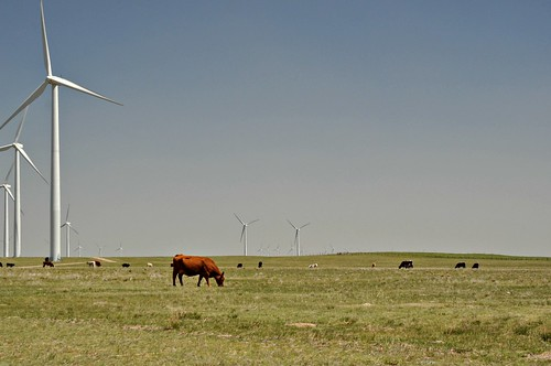 Grazing On The Windfarm