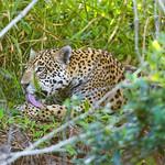 Grooming wild jaguaress