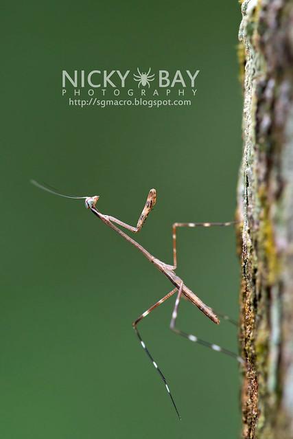 Praying Mantis (Mantodea) - DSC_7845