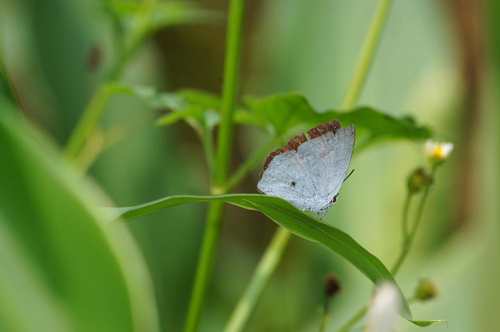 銀斑小灰蝶-1