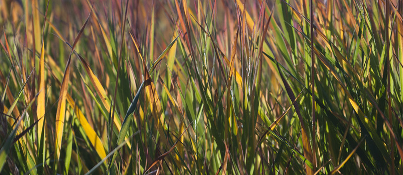 fall sedge