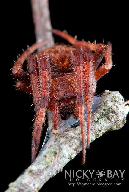 Neoscona Orb Weaver Spider - (Neoscona vigilans) - DSC_5410