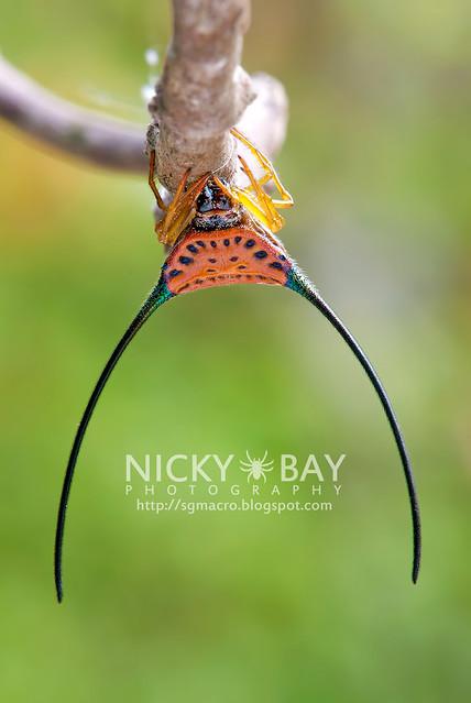 Long Horned Orb Weaver (Macracantha arcuata) - DSC_4839b