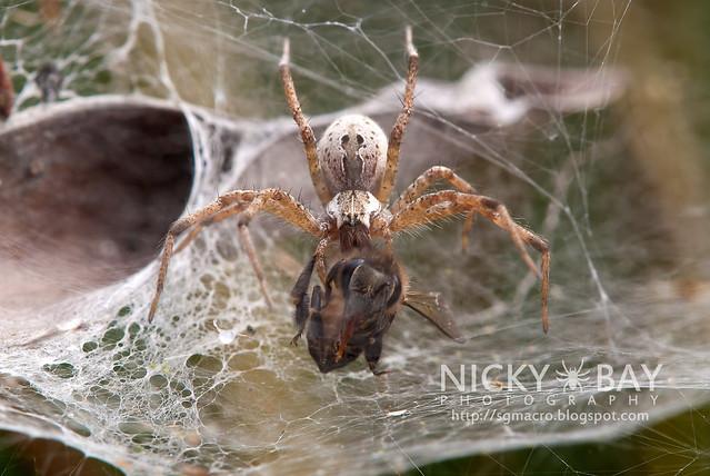 Nursery Web Spider (Pisauridae) - DSC_4258
