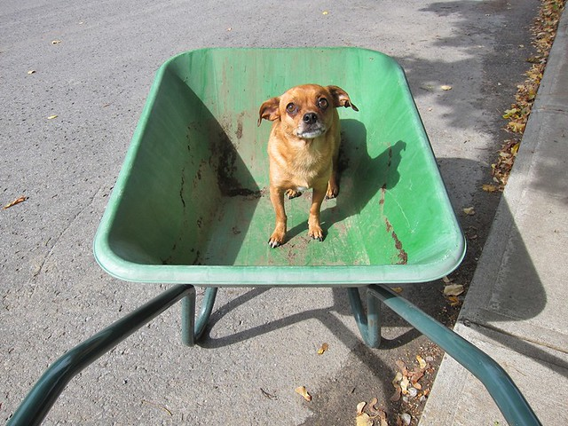 pup in a wheelbarrow